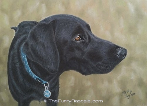Black Retriever Labrador Dog Pastel Portrait Painting in soft pastels - The Furry Rascals, Cyprus